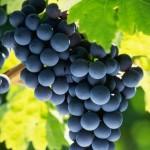 Monodière de raisin